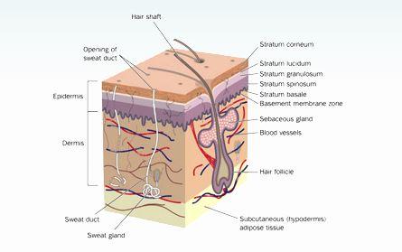 Dermapen Skin Structure